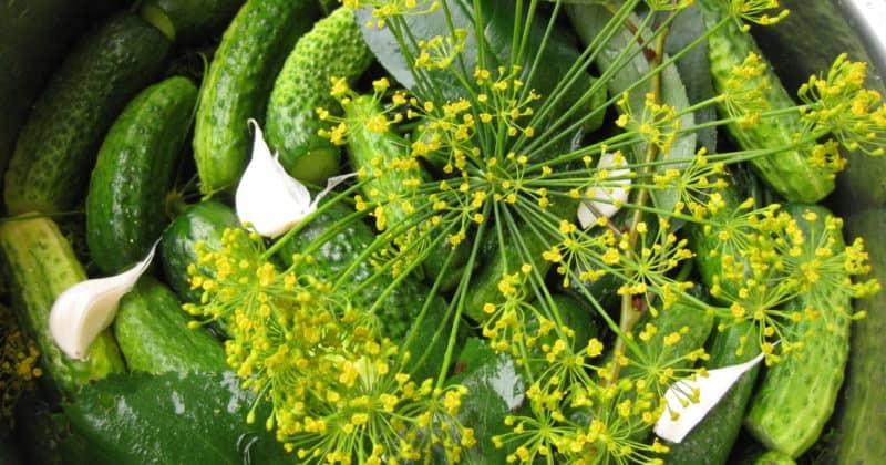 Огурчики малосольные хрустящие: пара отличных рецептов 1